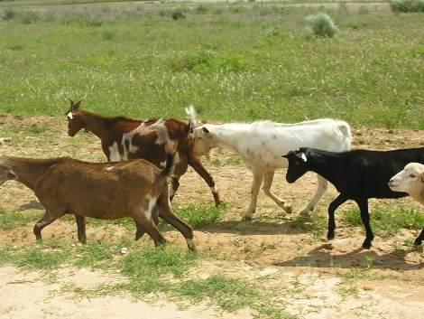 Schafe-und-Ziegen (17)