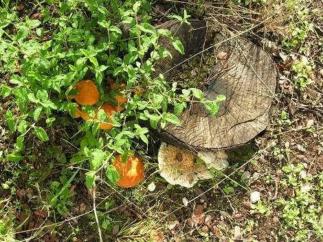 Pilze sammeln im Algarve