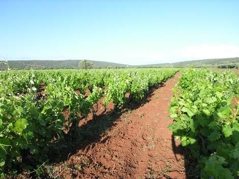 Wein Reben Algarve