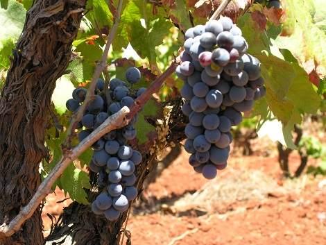 Weintrauben Algarve