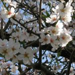 Mandelblüte Algarve